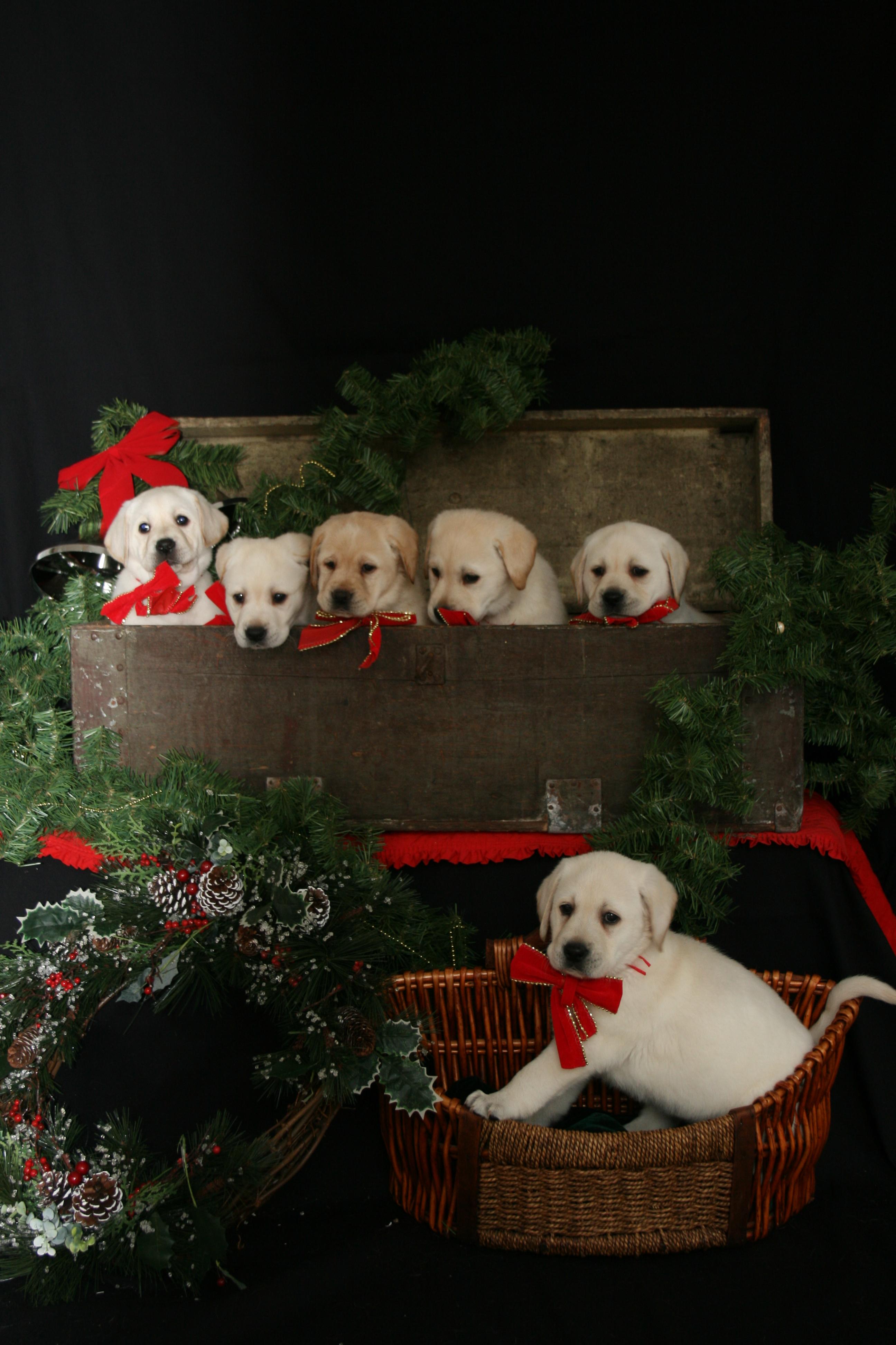 christmas photos puppies017